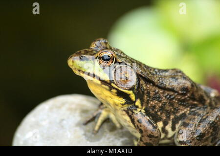 A male common green frog rests regally beside the pond on a rock waiting for lunch. - Stock Photo