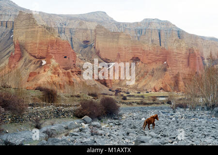 Red horse walking in a dry river bed near Dhakmar, Upper Mustang region, Nepal. - Stock Photo
