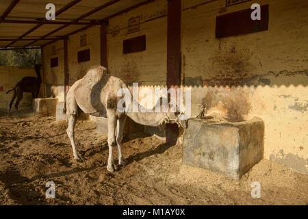 Camel at the Camel Breeding Farm in Bikaner, Rajasthan, India - Stock Photo