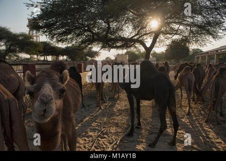 Camels at the Camel Breeding Farm in Bikaner, Rajasthan, India - Stock Photo