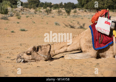 Tired camel in the Thar Desert, Rajasthan, India - Stock Photo