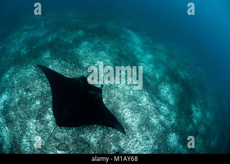 Looking down on a large reef manta ray (Manta alfredi) swimming over the seabed in Komodo National Park, Indonesia. - Stock Photo