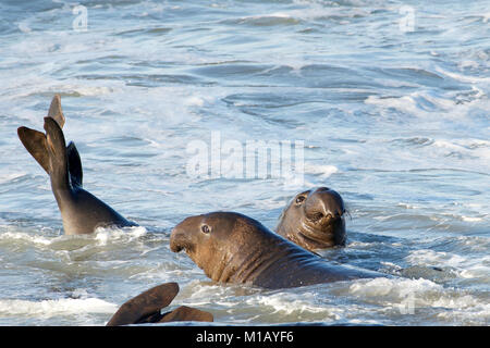 Male elephant seal in the water, fighting. Elephant seals take their name from the large proboscis of the adult - Stock Photo