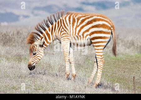 Baby zebra grazing in drought parched field of grass, resting. Zebras are generally social animals that live in - Stock Photo