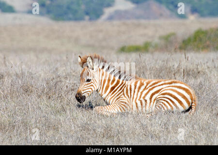 Baby zebra laying in drought parched field of grass, resting. Zebras are generally social animals that live in small - Stock Photo