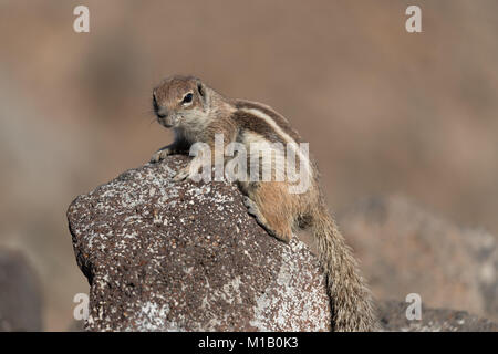 Barbary Ground Squirrel Atlantoxerus getulus on  Fuerteventura, Canary Islands  Spain - Stock Photo