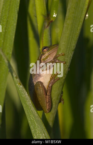 A squirrel tree frog hanging on to reeds, in a marshy area near Purdue Hill, in southwest Alabama, above the Alabama - Stock Photo