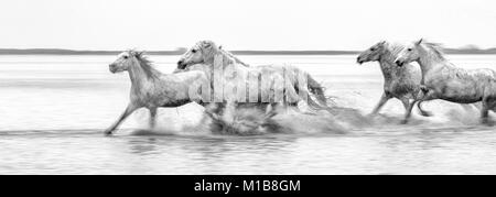 Camargue horses (Equus caballus), galloping through water near Saintes-Marie-de-la-Mer, Camargue, France, Europe - Stock Photo