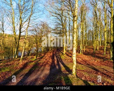 On the top of a gentle woodland rise the winter sun shinies through the tall trees casting long shadows on the narrow - Stock Photo