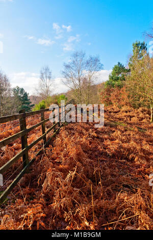 A carpet of golden brown ferns runs alongside a woodland path ann a wooden fence in to the distance - Stock Photo