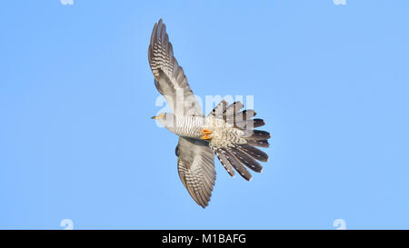 Common cuckoo (Cuculus canorus) in flight - Stock Photo