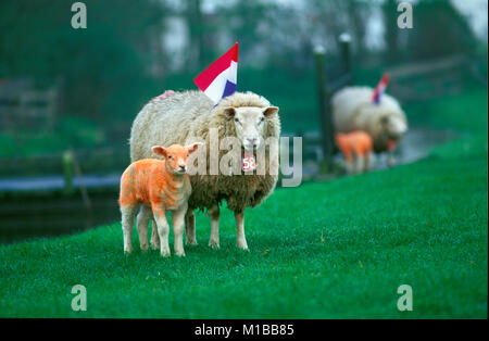The Netherlands. Marken. Annual festival Kingsday 27 April. Sheep painted in national color orange and Dutch flag. - Stock Photo