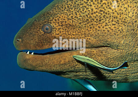 Cleaning station, Bluestreak cleaner wrasse (Labroides dimidiatus) cleans a Giant moray (Gymnothorax javanicus), - Stock Photo