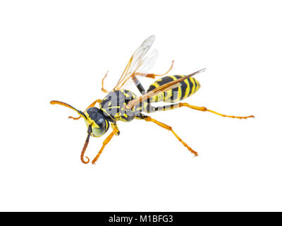Yellow Jacket Wasp Insect Isolated on White - Stock Photo