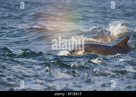 Pod of Bottlenose dolphins (Tursiops truncatus) surfacing in the Moray Firth, Chanonry Point, Scotland, UK - Stock Photo