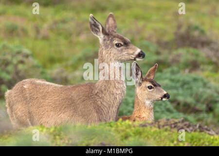 Female mule deer (Odocoileus hemionus) and her young, Point Reyes National Seashore, California, United States. - Stock Photo