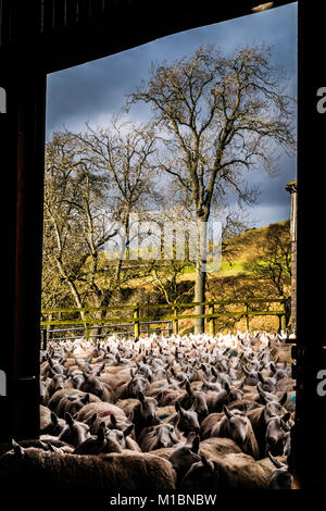 Swinside, Jedburgh, Scottish Borders, UK. 25th January 2018. Cheviot Ewes are gathered in a farm steading to scan for lamb numbers and dose against li Stock Photo