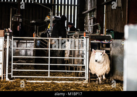 Swinside, Jedburgh, Scottish Borders, UK. 25th January 2018. Cheviot Ewes are gathered in a farm steading to scan - Stock Photo