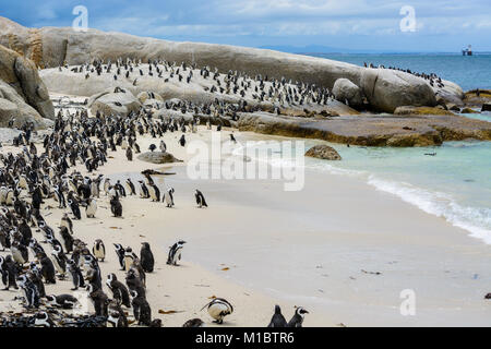 African Penguin colony (Spheniscus demersus) living on Boulders Beach, Cape Town, South Africa - Stock Photo