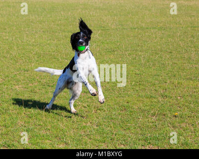 Black and White English Springer Spaniel dog standing on hind legs  jumping up to catch a ball in its mouth in a - Stock Photo