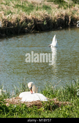A pair of mute swans (Cygnus olor) one sitting on a nest, the other in the water in the background - Stock Photo