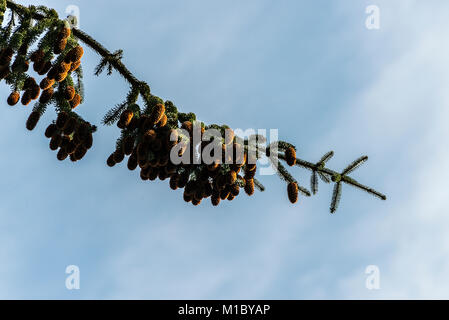 A branch of a sitka spruce (Picea sitchensis) tree heavily laden with cones against a blue sky with wispy clouds - Stock Photo