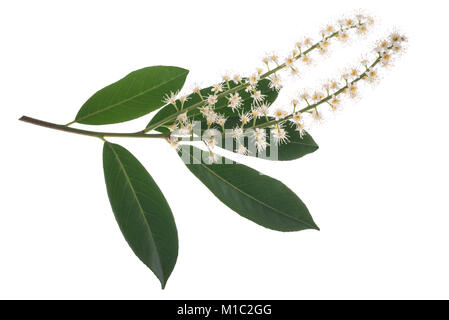 Prunus laurocerasus flowers isolated on white background - Stock Photo
