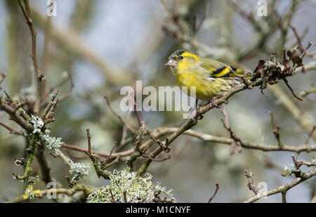 Siskin (Carduelis spinus), male perched in a tree - Stock Photo