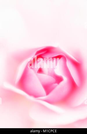 Busy Lizzie, blossom detail / (Impatiens walleriana) | Fleissiges Lieschen, Bluetendetail / (Impatiens walleriana) - Stock Photo