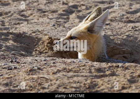 Cape fox (Vulpes chama), adult female looking out from burrow entrance, Kgalagadi Transfrontier Park, Northern Cape, - Stock Photo