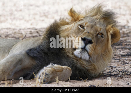 Black-maned lion (Panthera leo vernayi), male resting, Kgalagadi Transfrontier Park, Northern Cape, South Africa, - Stock Photo