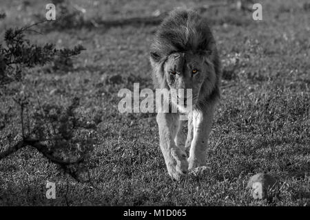 Adult Lion with scars on face stalking towards camera in black and white with eyes in colour. - Stock Photo