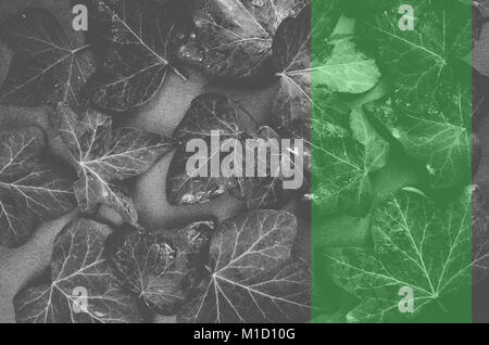 wet ivy leaves on a dark stone surface - top view - Stock Photo