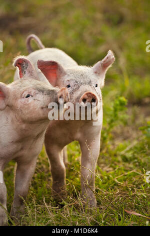 The Netherlands, Kortenhoef, Pigs. Piglets. - Stock Photo