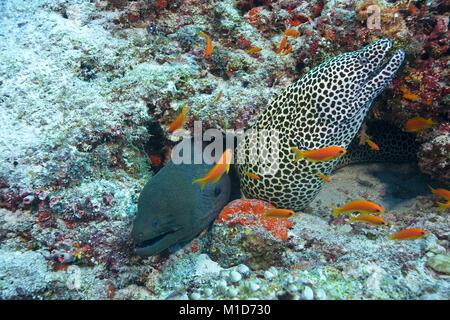 Living community, Giant moray (Gymnothorax javanicus) and Honeycomb moray (Gymnothorax favagineus), Maldives islands, - Stock Photo