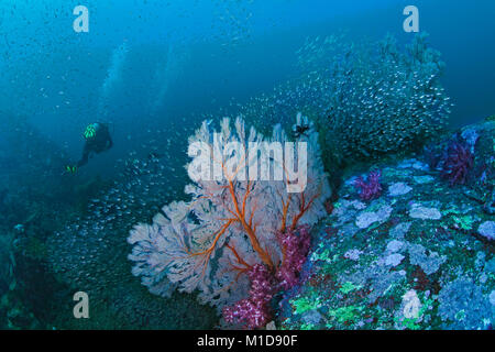 Seascape of colorful coral reef with seafan surrounded by halo of glassfish and soft corals, scuba diver in blue - Stock Photo