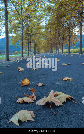 Close up at the fallen London planetree leaves on the road, with the trees in their fall foliage in the background, - Stock Photo