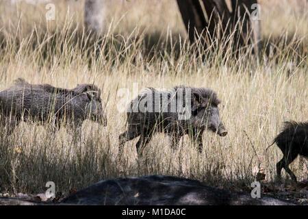 Group of wild Indian Boars, Sus scrofa cristatus, running in Bandhavgarh National Park, Madhya Pradesh, India - Stock Photo