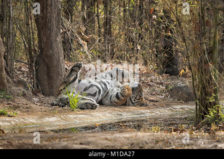 Wild, adult male Bengal Tiger, Panthera tigris tigris, sleeping, relaxing on his back, showing belly and scrotum, - Stock Photo