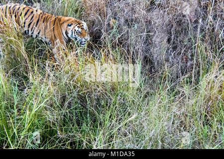 Wild Bengal Tiger, Panthera tigris tigris, snarling, attacking in Bandhavgarh Tiger Reserve, Madhya Pradesh, India - Stock Photo