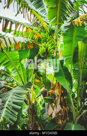 Banana palm tree on the trakking route in Paul valley on Santo Antao, Cape Verde - Stock Photo