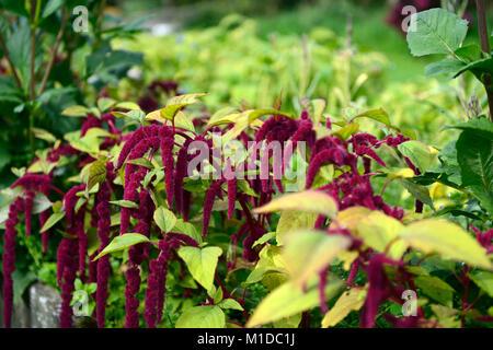 Amaranthus caudatus,love lies bleeding,flowers,flower,bloom,blossom,red,purple, inflorescence,leaves,foliage,RM - Stock Photo
