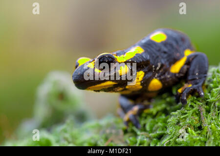 Fire salamander newt  (Salamandre salamandre) looking in camera. They live in central European old deciduous forests - Stock Photo