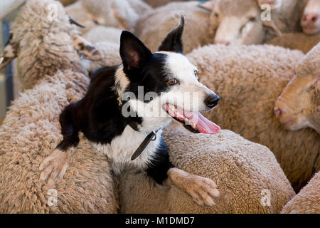 Riding on the sheep's back - a black and white border collie resting on the backs of a herd of merino sheep after - Stock Photo