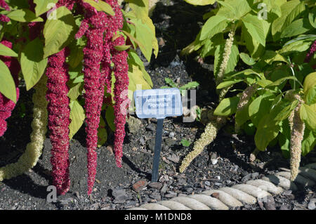 Red & Green Amaranthus caudatus 'Pony Tails' Flowers (Love-lies-bleeding) on Display in a Border at RHS Garden, - Stock Photo