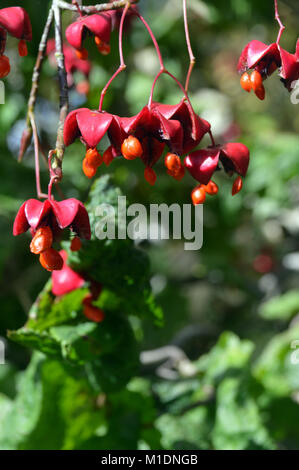 The Seeds/Berries of the Euonymus oxyphyllus Korean/Japanese spindle tree at RHS Garden, Harlow Carr, Harrogate, - Stock Photo