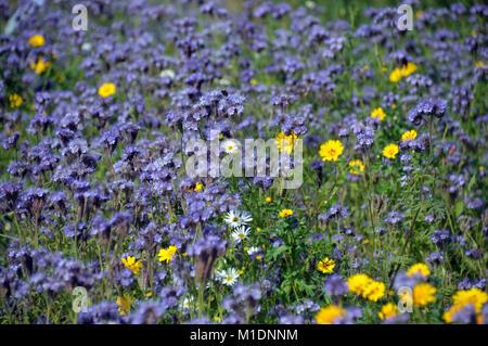 Green Manure (Phacelia tanacetifolia) Flowers Grown in a Field to Fertilise it at RHS Garden, Harlow Carr, Harrogate, - Stock Photo