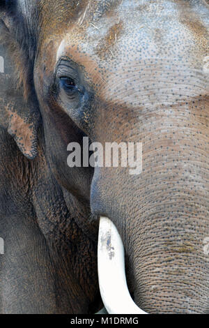 Asian elephant (Elephas maximus) looking at camera. Vertical close up image. - Stock Photo