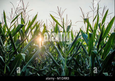 sunrise on a light corn field filters through the leaves on a summer day - Stock Photo