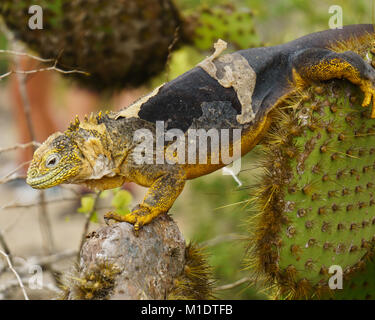Land iguana walking on a cactus and shedding on Isla Plazza Sur in the Galapagos Archipelago - Stock Photo